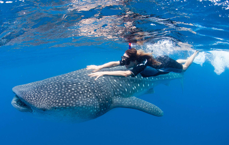 На фото Дайвинг с китовыми акулами в Канкуне